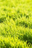 Background of fresh bright green grass Stock Image