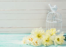 Background with fresh daffodils and bird cage Royalty Free Stock Images