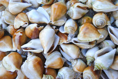 A background of fresh Dog Conch or Wing Shell for sale at a market Royalty Free Stock Images