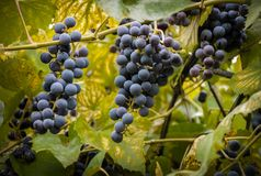 Background of fresh grapes on a background of green leaves Royalty Free Stock Image