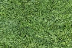 Background of fresh green dill Royalty Free Stock Images