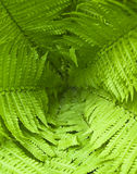 Background of fresh green fern leafs Royalty Free Stock Photography