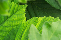 Background of fresh green leaves Stock Images