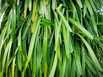 Background of Fresh Green Plant with Long Leaf. Full Frame Background of Fresh Green Plant with Long Leaf stock image