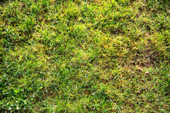 Background of fresh green spring grass Royalty Free Stock Image