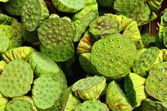 Background of Fresh lotus seeds and pod Stock Photo