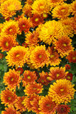 Background of fresh orange chrysanthemum Royalty Free Stock Image