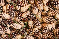 Background of fresh pine cones stock images