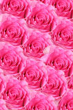 Background of fresh pink rosebuds Royalty Free Stock Photography