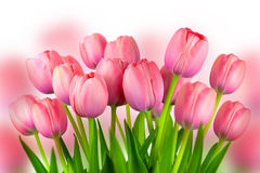 Background of Fresh Pink Tulips,  spring flowers Stock Photos