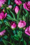 Background of fresh purple-pink peonies and green leaves. View from above. Flat Lay royalty free stock image