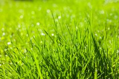 Background of fresh spring grass Royalty Free Stock Image