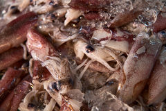 Background of fresh squids Royalty Free Stock Photo