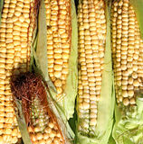 Background of fresh yellow corn cobs Stock Photos