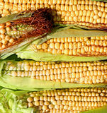 Background of fresh yellow corn cobs Stock Images