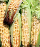 Background of fresh yellow corn cobs. The background of fresh yellow corn cobs Stock Photography