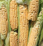 Background of fresh yellow corn cobs Stock Image