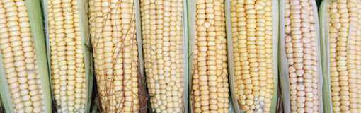 Background of fresh yellow corn cobs Royalty Free Stock Image