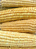 The background of fresh yellow corn cobs. Ears of ripe corn Stock Photography