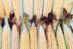 Background of fresh yellow corn cobs. The background of fresh yellow corn cobs. Ears of ripe corn Stock Image