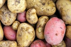 Background of freshly dug up yellow and red potatoes. Close up royalty free stock images