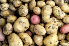 Background of freshly dug up yellow and red potatoes. N Close up royalty free stock image