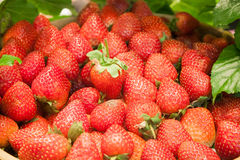 Background of freshly harvested strawberries Stock Photography