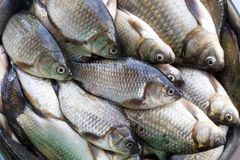 Background from freshly washed brilliant small lake roach fish. Fresh washed brilliant small lake fish roach lies in large numbers in the plate royalty free stock photos