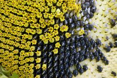 Background From Ripe Sunflower With Seed.Ripe Sunflower Royalty Free Stock Photo