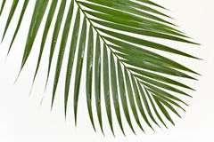 Background with frond. Green fresh decorative palm on a white Royalty Free Stock Photos