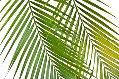 Background with frond. Green fresh decorative palm on a white Stock Image