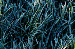 Background of frosty grass Royalty Free Stock Photo