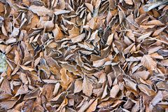 Background of frosty leaves Royalty Free Stock Image