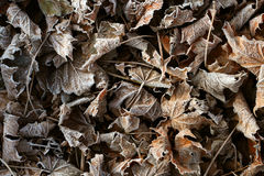 Background of frosty leaves. On a cold fall morning Stock Images