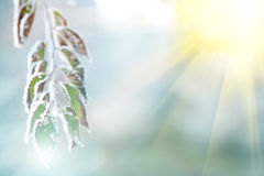 Background of frozen leaves under the frost and sun Stock Images