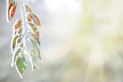 Background of frozen leaves under the frost and sun Stock Image