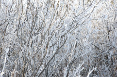 The background frozen winter branches Stock Photo