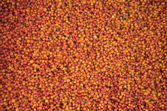 Background from the fruit of sea buckthorn berries Stock Photos