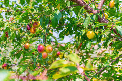 Background fruit trees cherry-plum. Background of fruit trees. fruits of yellow-red cherry-plum on a branch, on a blurry background of the garden Stock Image