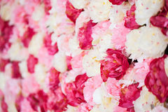 Background full of white and pink peonies Royalty Free Stock Photography