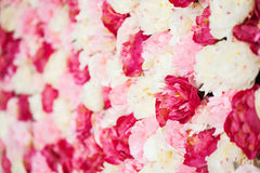 Background full of white and pink peonies Royalty Free Stock Images