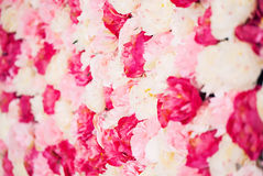 Background full of white and pink peonies Stock Image