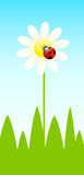 Background with funny ladybird and camomiles Stock Image