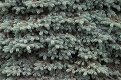 Background from fur-tree branches. Background from branches of a dense blue spruce Royalty Free Stock Photos
