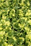 Background of genuine fresh lettuce in farmer's field Stock Images