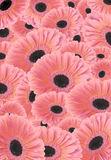 Background of Gerber flowers. Stock Images
