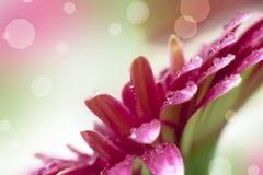 Background with gerbera macro image Stock Photo