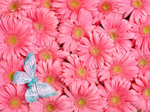 Background of gerbera flower. Royalty Free Stock Image