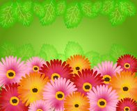 Background with gerbera Royalty Free Stock Photography