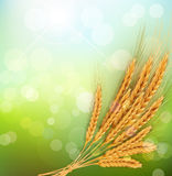 Background with gold ears of wheat and sun rays Stock Photos
